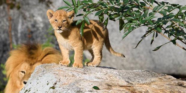 Schwedischer Zoo ließ neun Löwenjunge töten