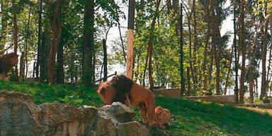 Löwen-Maibaum wurde gestohlen