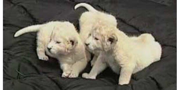 Deutscher Safaripark präsentiert sechs weiße Löwenbabies