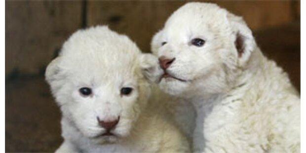 Zwei weiße Löwen im Belgrader Zoo geboren