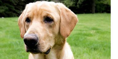 Tierquäler vergiftet süße Labradorhündin
