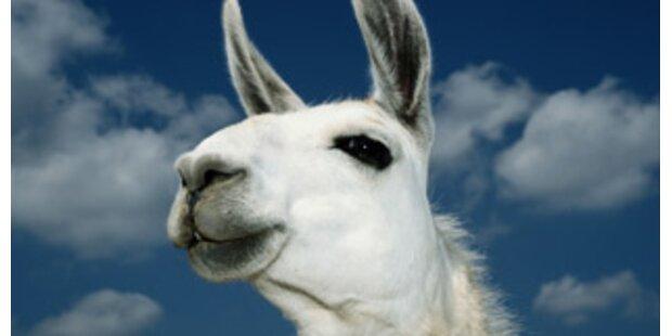 Kriminalfall um Lama