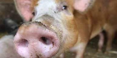 lawinenschweine