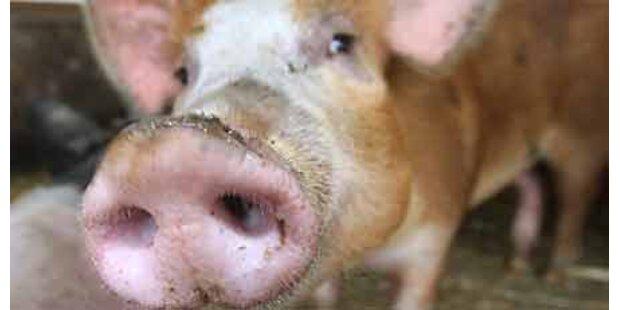 Lawinen-Schweine dürfen leben