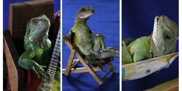 Leguan in Thailand spielt Gitarre