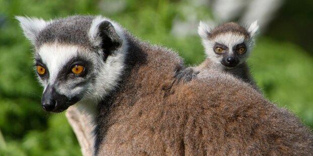 sch nbrunn freut sich ber lemuren babys. Black Bedroom Furniture Sets. Home Design Ideas