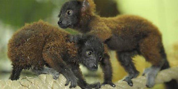 Lemuren-Babys Schönbrunns neuester Hit