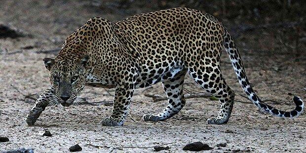 Leopard drang in Haus ein: 13-Jährige tot