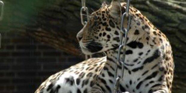 Leopard biss Dompteur-Tochter ins Genick