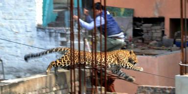Leopard streunt durch Stadt und löst Panik aus