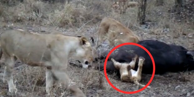 Löwe bleibt in Hintern von Büffel stecken