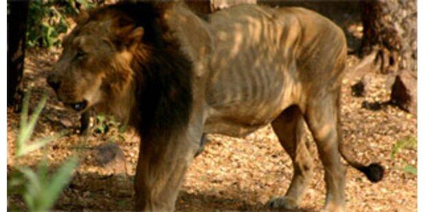 Südafrikaner von Löwen aufgefressen