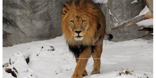 Wärter in China von Löwe zerfleischt