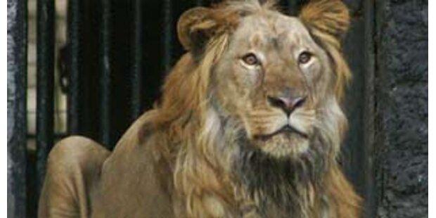 Löwe tötet wiederholt einen Tierpfleger