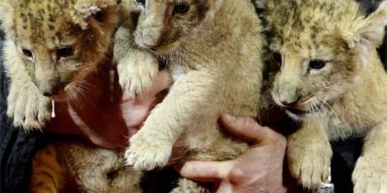 Baby-Löwen im Zirkus werden von Hand aufgezogen