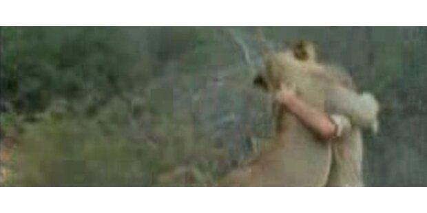 Löwe erkennt seine Zieheltern in der Wildnis