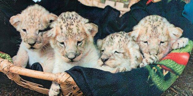 Sensation um Löwen-Babys