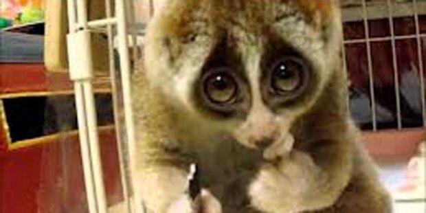 Passagier schmuggelte Affe in Unterhose