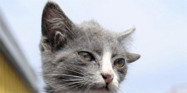 Katze mit vier Ohren geboren