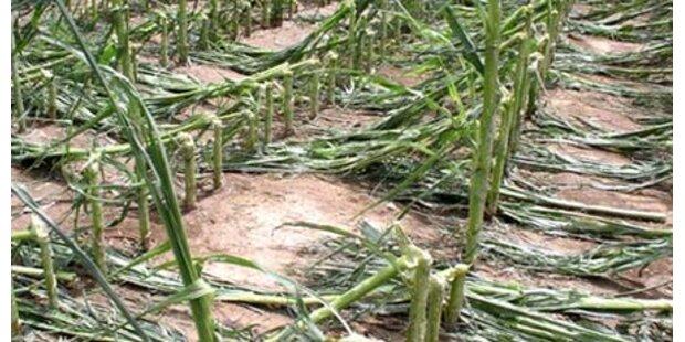 Einbrecher-Jagd im Maisfeld