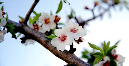 Zur Mandelblüte nach Mallorca