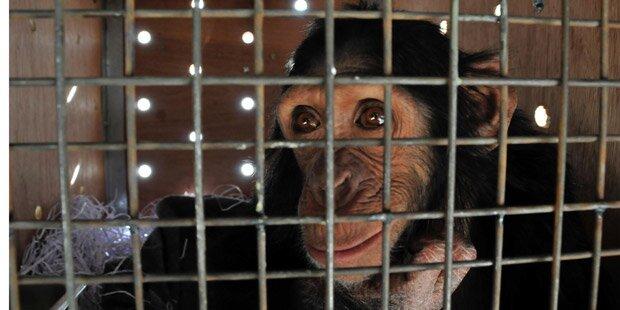 Rauchender Affe aus Zoo befreit