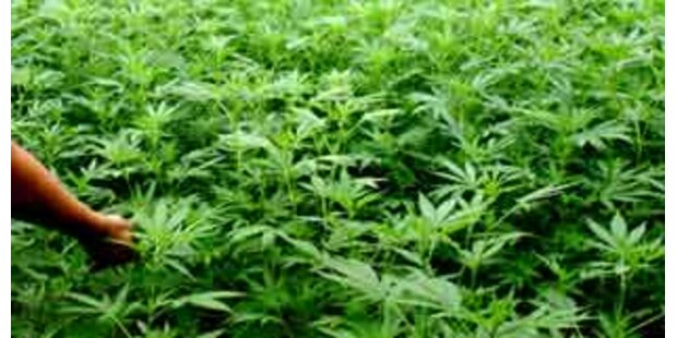 Oma pflanzte riesige Marihuana-Plantage an