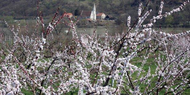 In der Wachau blühen die Marillenbäume