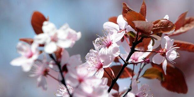 Marillenblüte in der Wachau hat begonnen