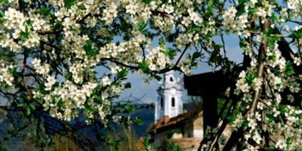 Marillenblüte in der Wachau steht bevor