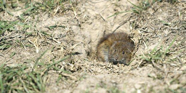 Mäuseplage auf Feldern im Weinviertel