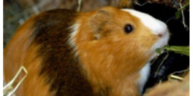 200 Meerschweinchen aus Müll-Wohnung gerettet