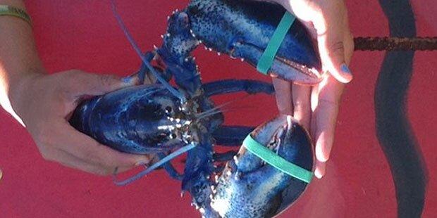 US-Fischer fängt blauen Hummer