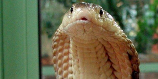 Hochgiftige Kobra nach 3 Wochen gefunden