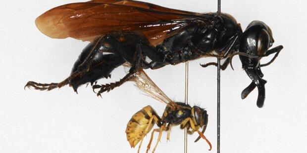 Monsterwespe auf Sulawesi entdeckt
