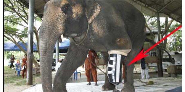 Elefant erhält Bein-Prothese