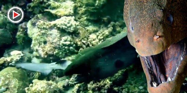Riesige Muräne verschlingt Haifisch