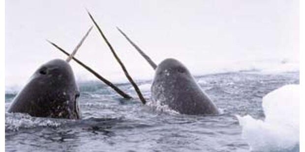Mehr als 600 Narwale
