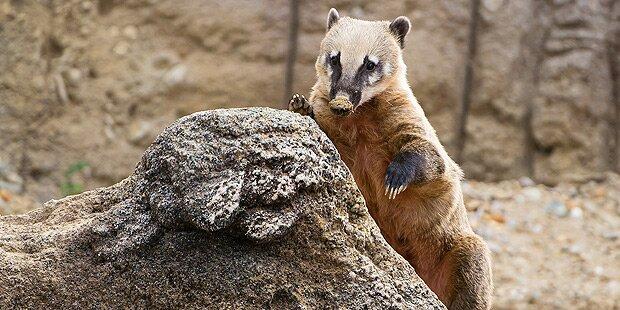 Neues Gehege für Nasenbären in Schönbrunn