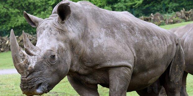 Nashörnern werden vorsorglich Hörner entfernt