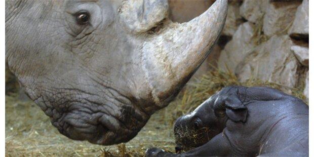 Erstes Retorten-Nashornbaby auf der Welt