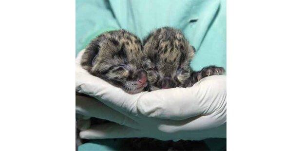 Seltene Nebelparder-Babys in den USA