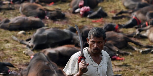 250.000 Büffel geschlachtet