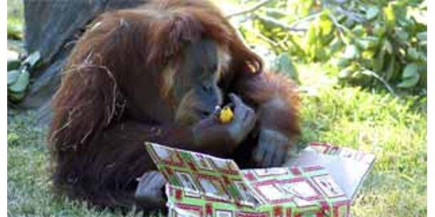 Ältester Sumatra-Orang-Utan starb mit 55 Jahren