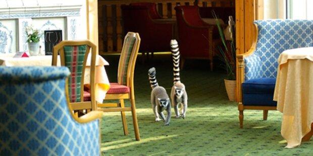 Zwei Katta-Äffchen aus Zoo getürmt