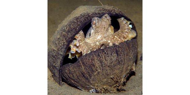 Tintenfische bauen sich Kokusnuss-Haus