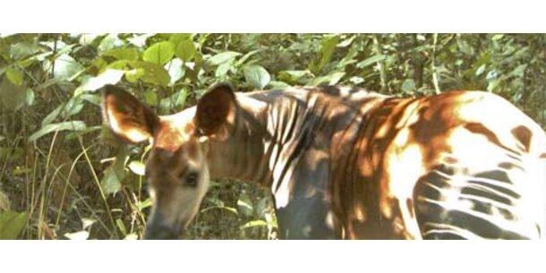 Erstmals Bilder eines wilden Okapis aufgetaucht