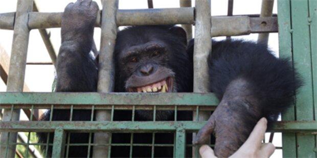 Rauchender Schimpanse aus Zoo befreit