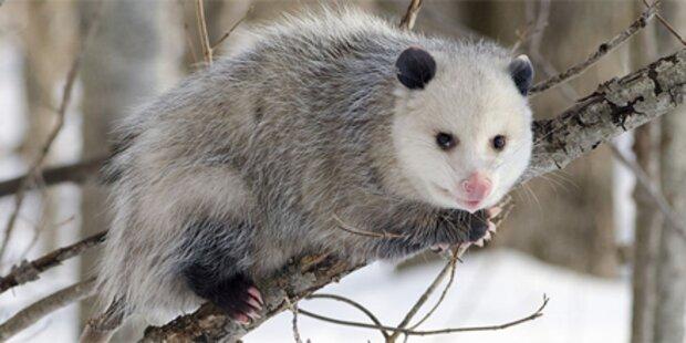 Kritik an Opossum-Weitwurfbewerbs
