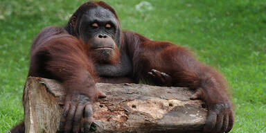 Brutaler Auftragsmord unter Affen